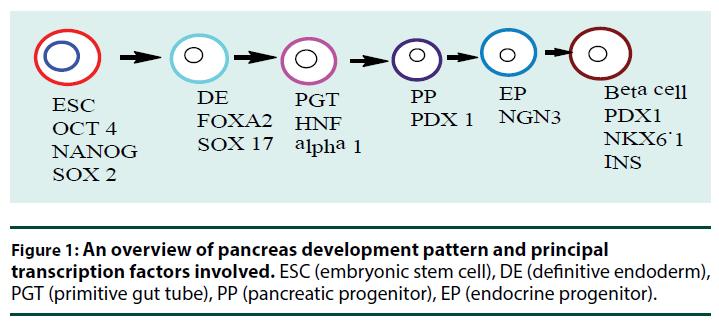 diabetes-management-pancreas-development