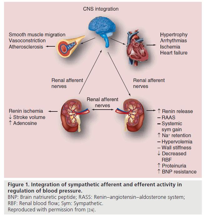nerve penetrate fibers sympathetic Cardiac